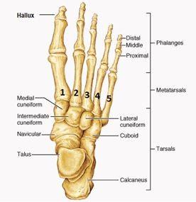 Diagram of bones in the human foot