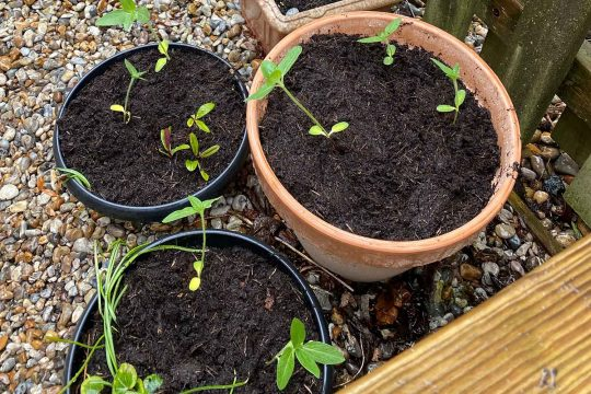 A number of newly planted sunflowers displayed in plant pots